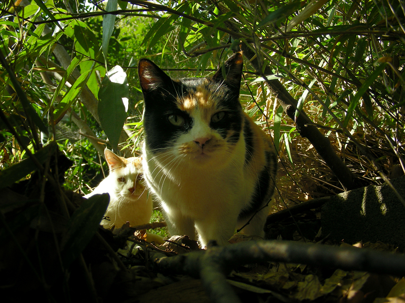 茂みの中の三毛猫