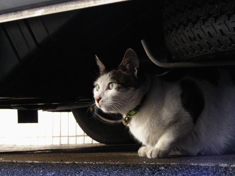 車の下の白キジ猫2