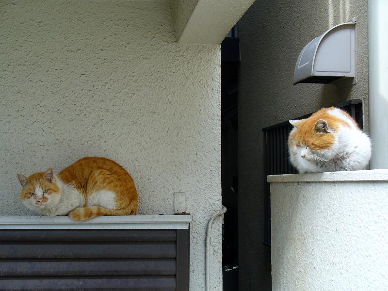 茶白猫兄弟2