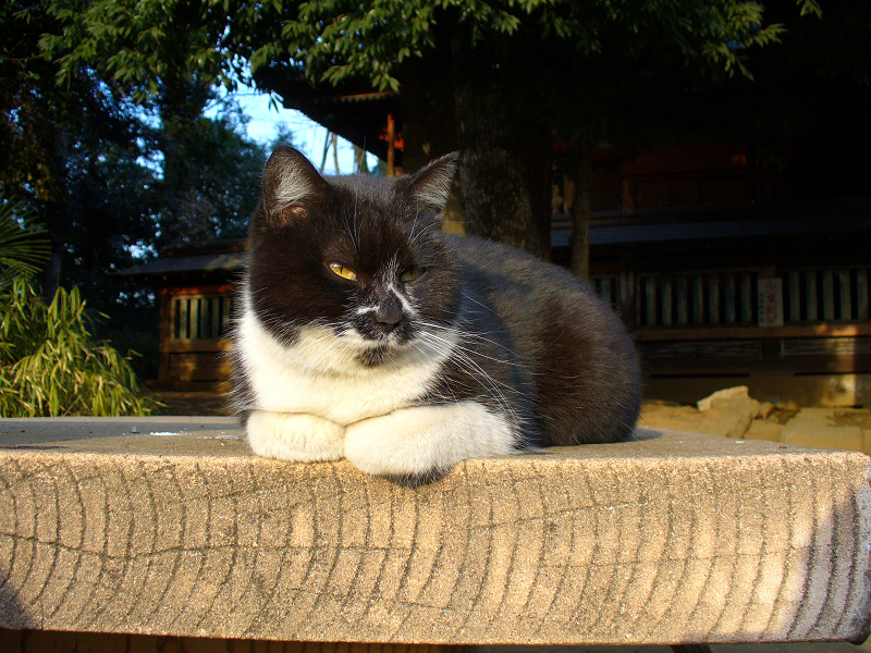 神社ベンチの黒白猫3
