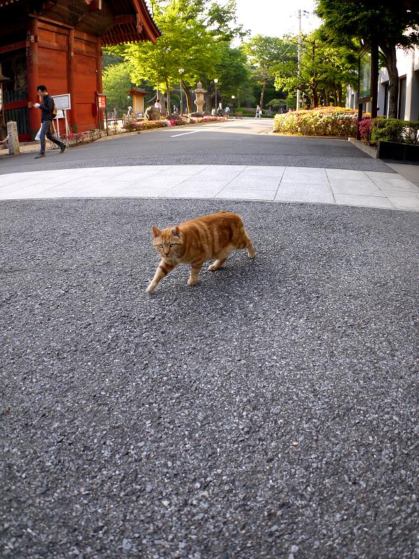 歩き寄ってきたアメショー柄猫1