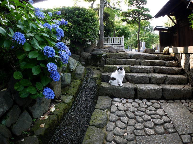 階段あじさい白キジ猫1
