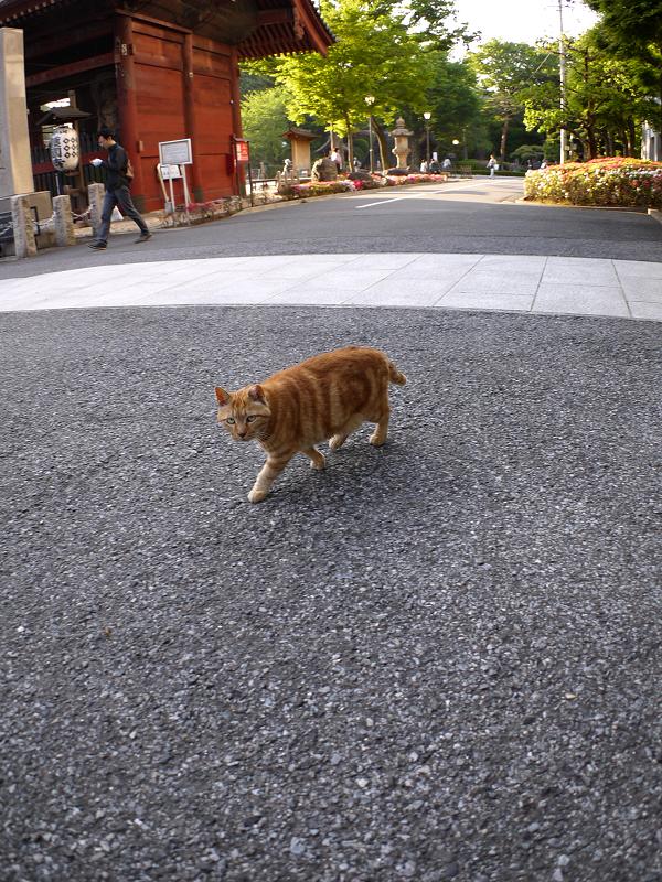 歩き寄ってきたアメショー柄猫2