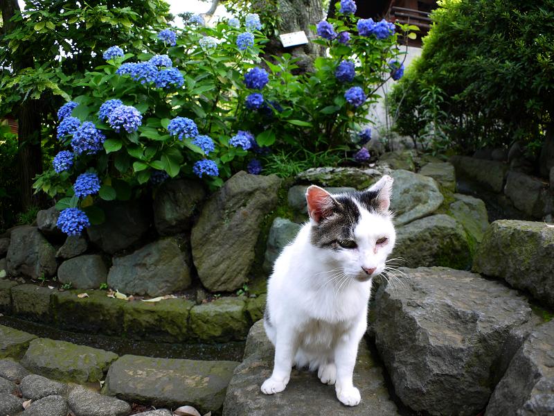 階段あじさい白キジ猫2