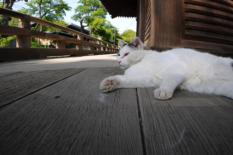 濡れ縁で寝ている白キジ猫3