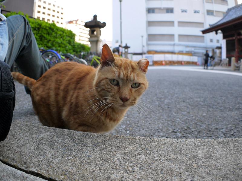 歩き寄ってきたアメショー柄猫3