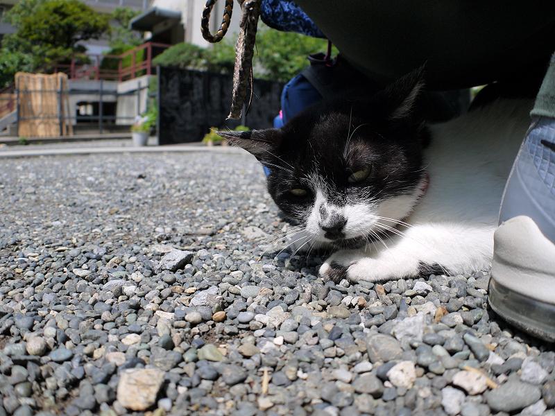 おしりの下の白黒猫2