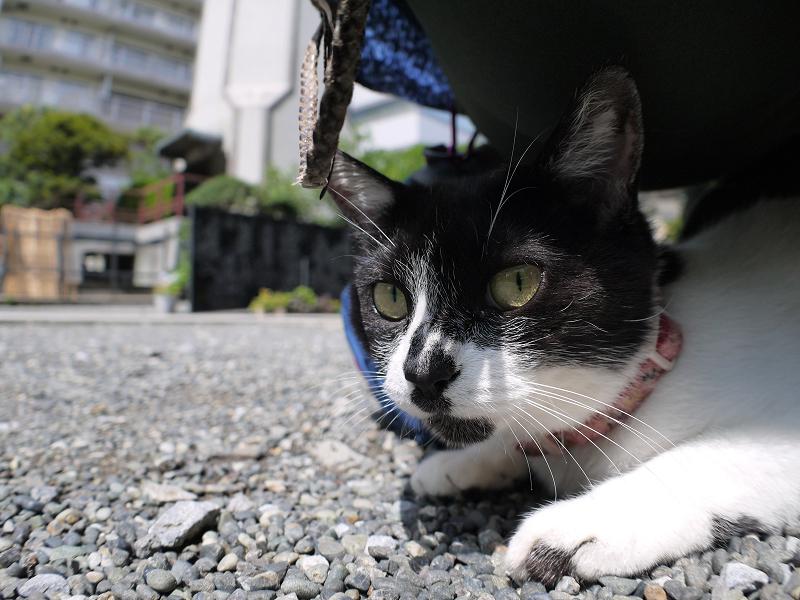 おしりの下の白黒猫3