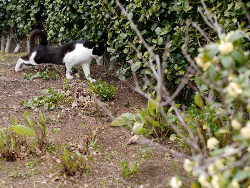 公園植込みと黒白猫1