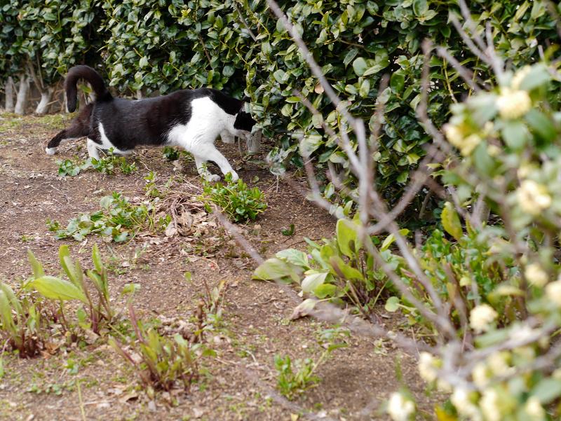 公園植込みと黒白猫2