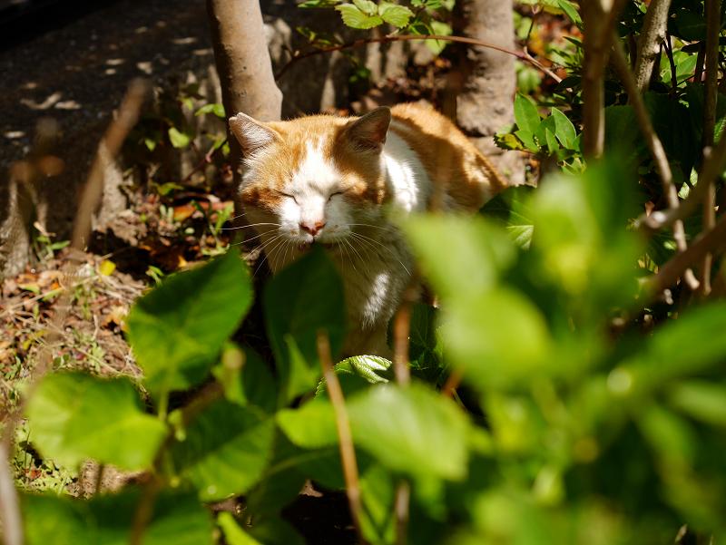 木漏れ日と茶白猫3