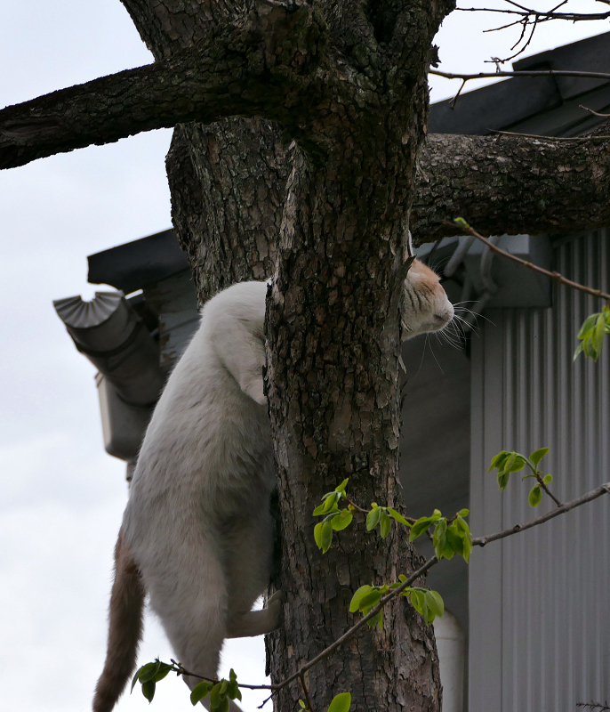 木をよじ登る白茶猫1