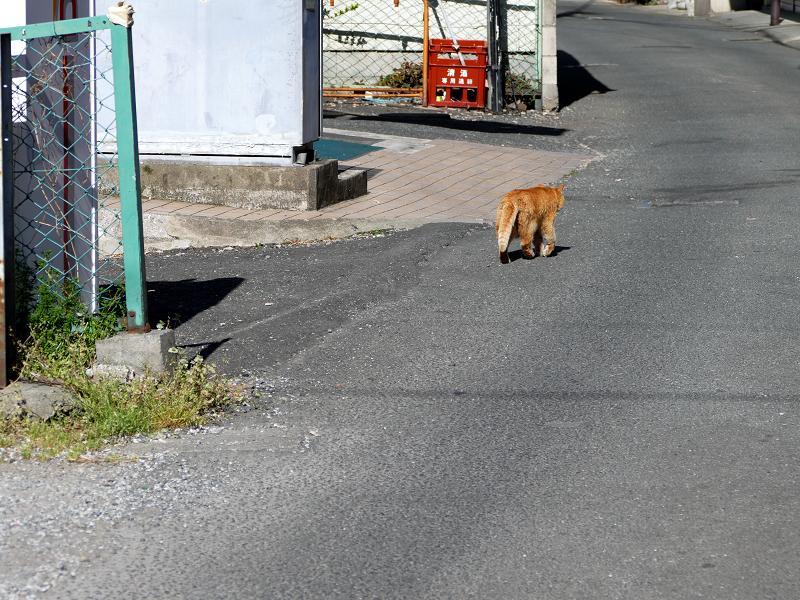 歩く歩く茶トラ猫1