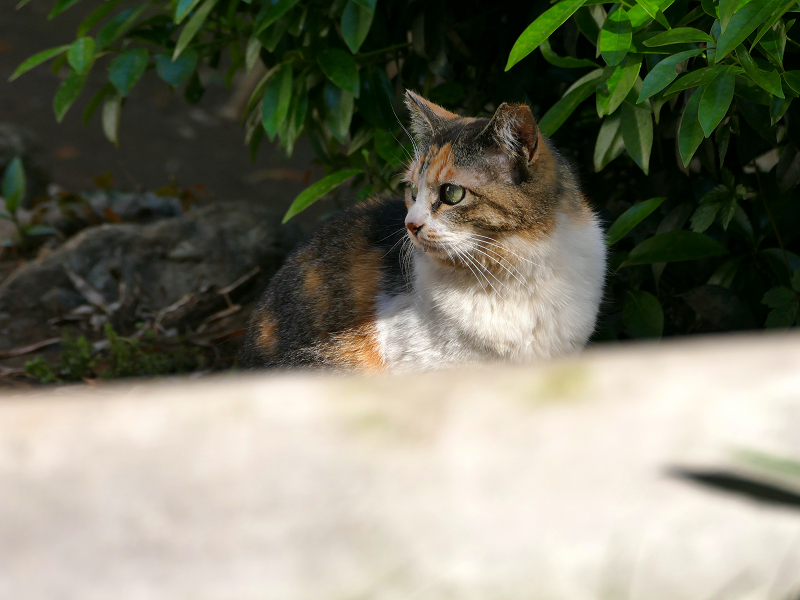 視線が印象的な三毛猫1