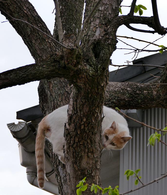 木をよじ登る白茶猫2