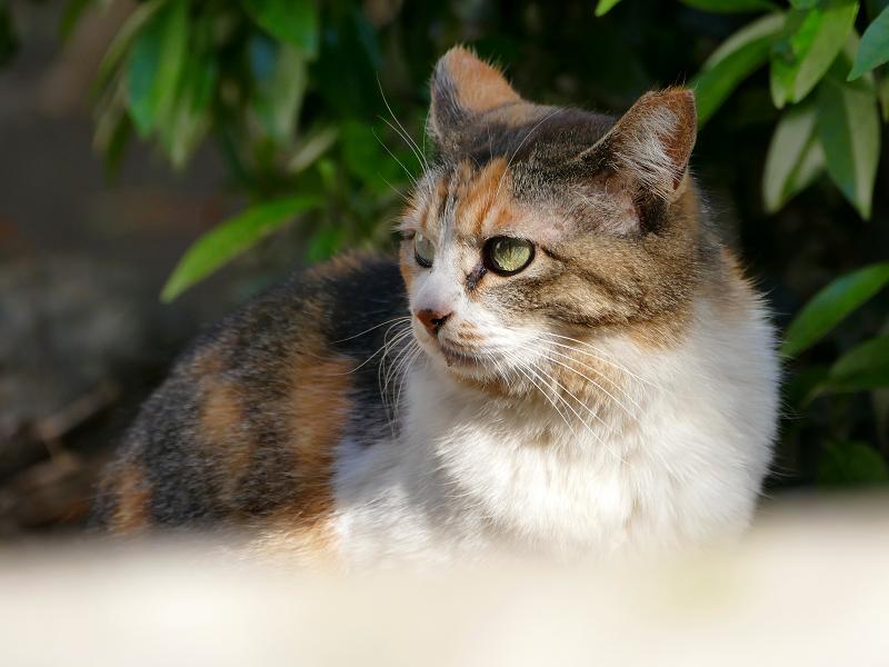 視線が印象的な三毛猫2