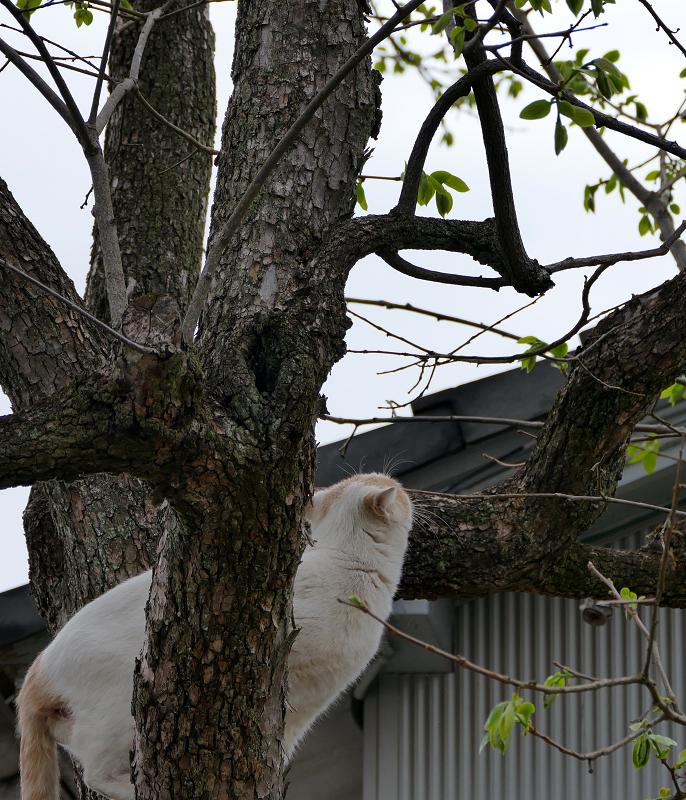 木をよじ登る白茶猫3