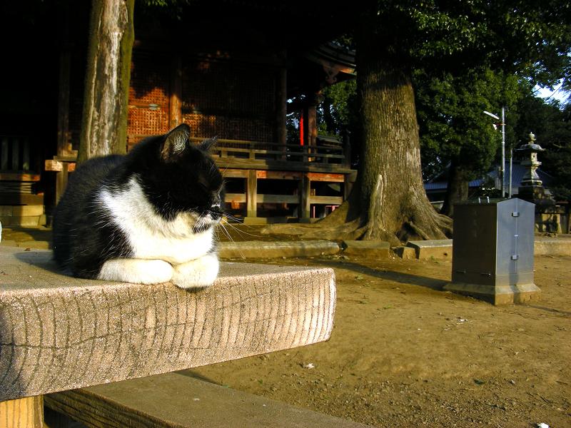 神社のベンチと黒白猫1