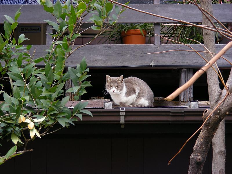 物干し台とグレー白猫1