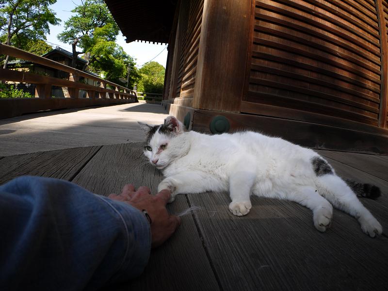 濡れ縁で目を覚ました白キジ猫1
