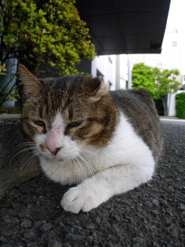 境内縁石のキジ白猫1