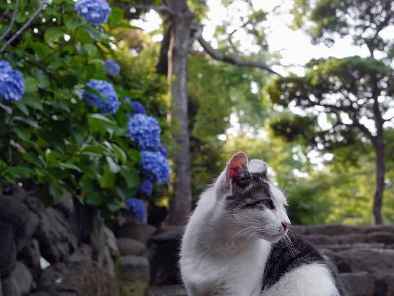 階段アジサイ白キジ猫1