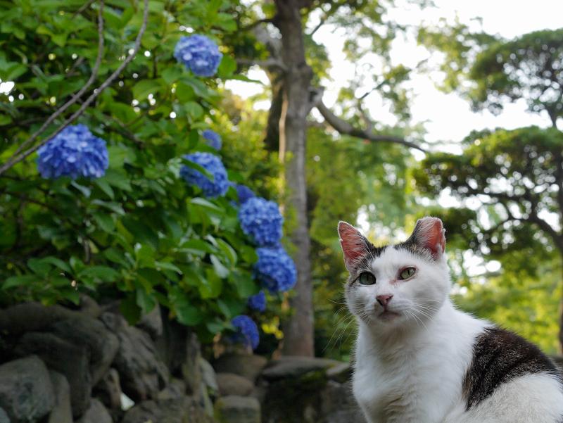 階段アジサイ白キジ猫2