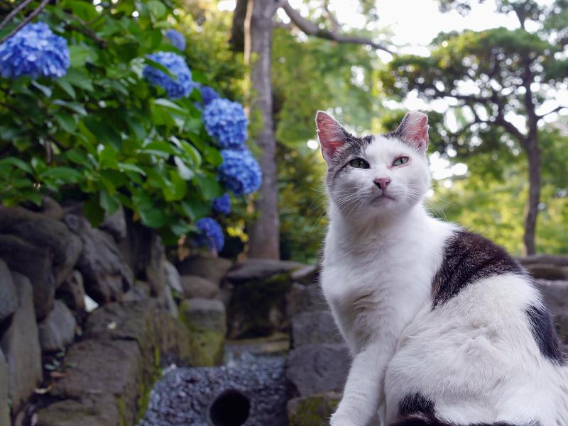 階段アジサイ白キジ猫3