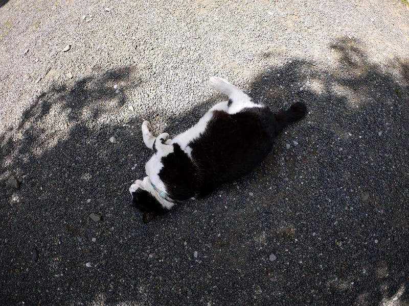 木漏れ日の中を転がる黒白猫2
