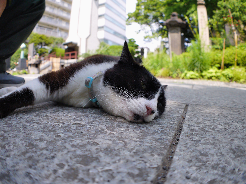 参道石畳黒白猫2
