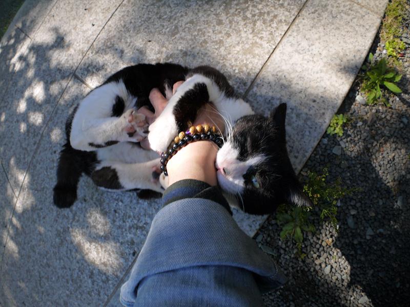 木漏れ日の中で私の手を噛む黒白猫3