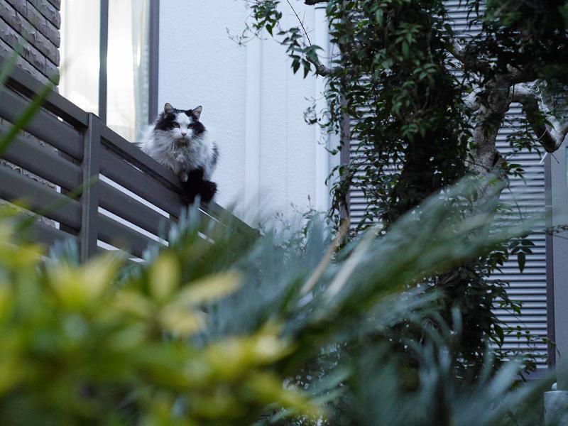 夕暮れフェンスの毛長の猫1