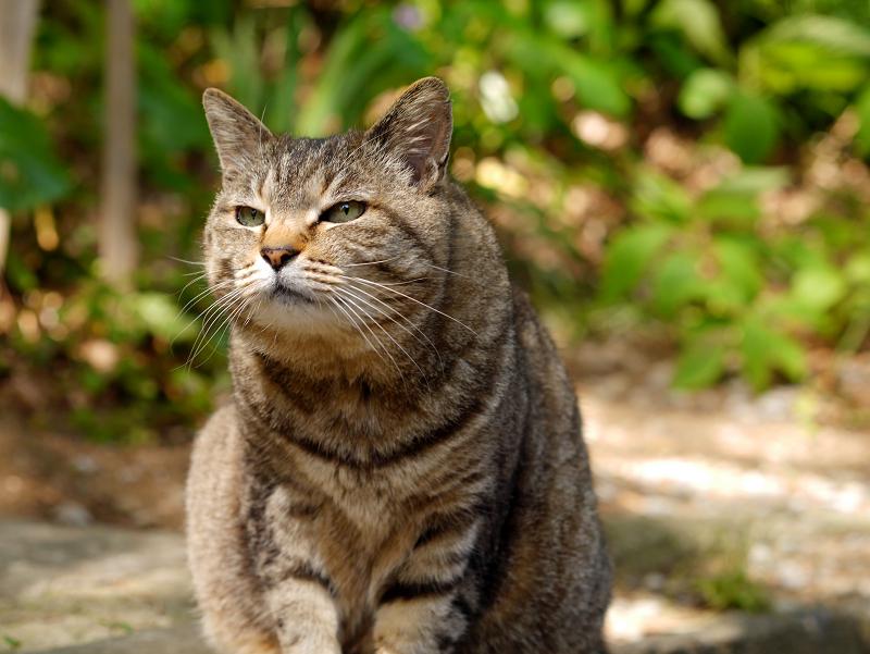 初夏日差しとキジトラ猫1
