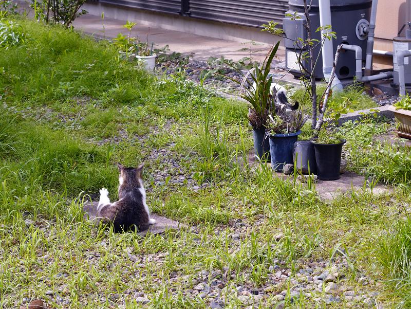 神社草むらキジ白猫1