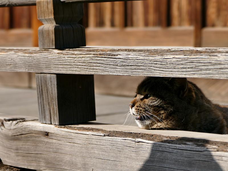 欄干隙間から鳴くキジトラ猫1