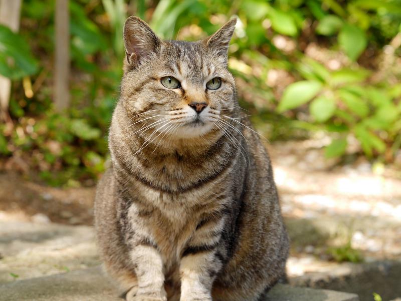 初夏日差しとキジトラ猫2
