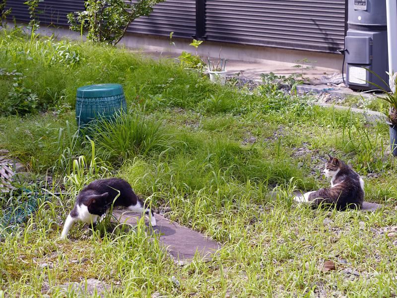 神社草むらキジ白猫2