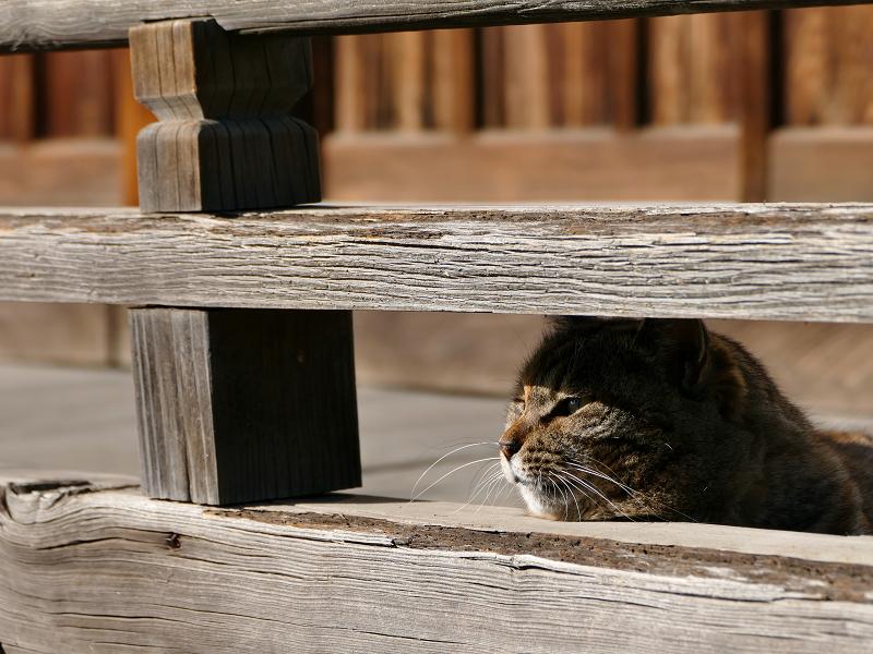 欄干隙間から鳴くキジトラ猫2