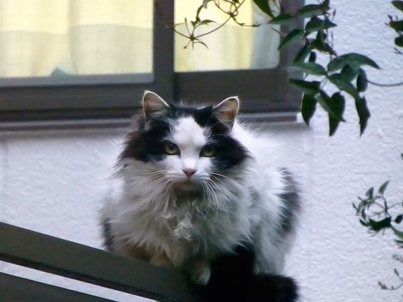 夕暮れフェンスの毛長の猫2