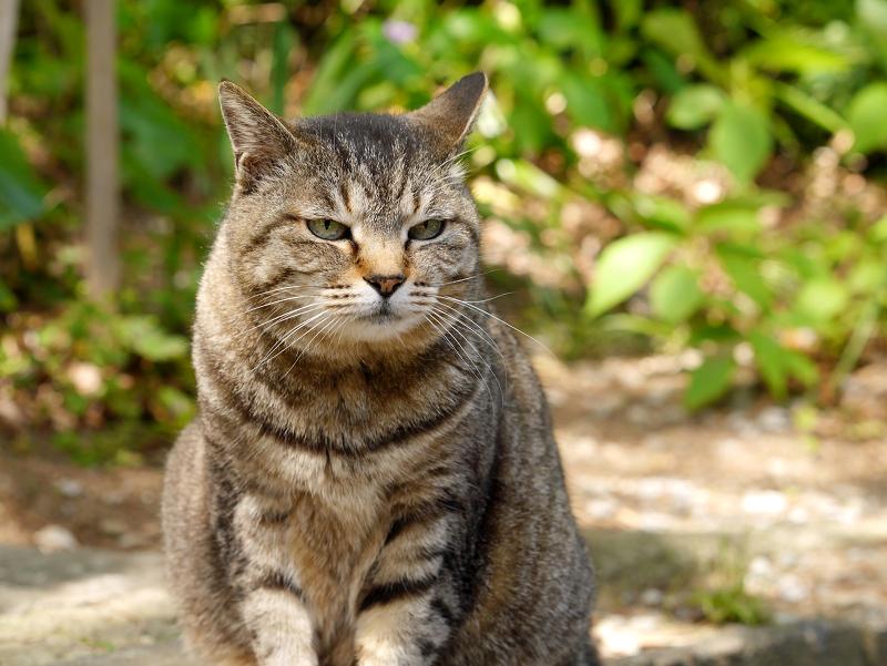 初夏日差しとキジトラ猫3