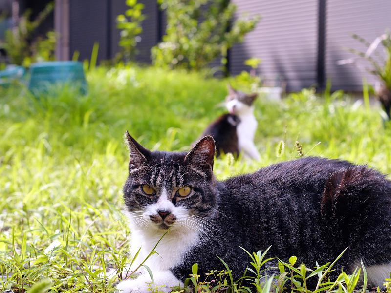 神社草むらキジ白猫3