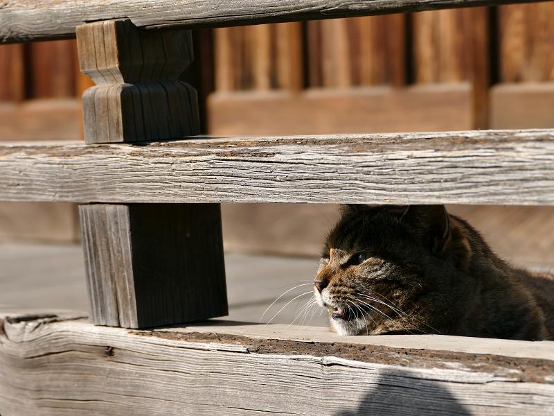 欄干隙間から鳴くキジトラ猫3