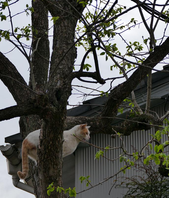 木の上の白茶猫1