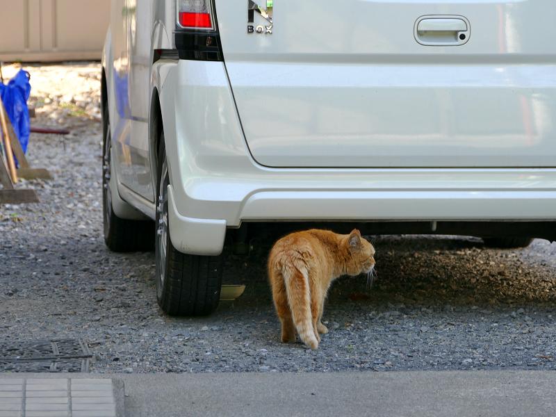 車の下に入る茶トラ猫1
