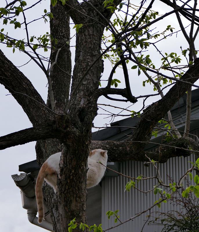 木の上の白茶猫2