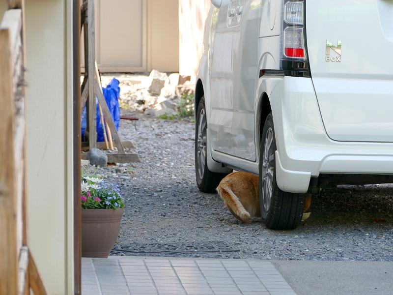 車の下に入る茶トラ猫2