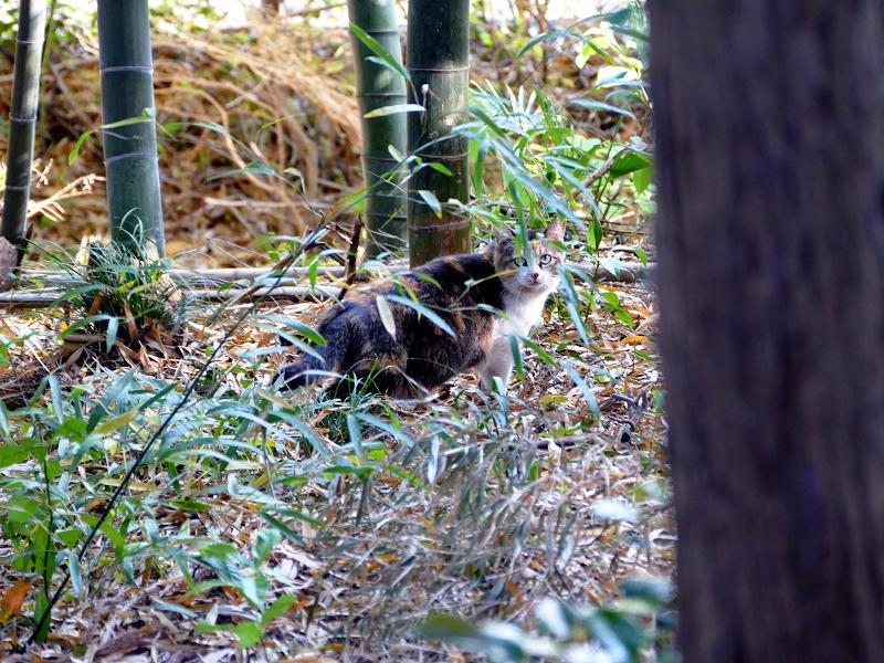 神社竹林三毛猫2