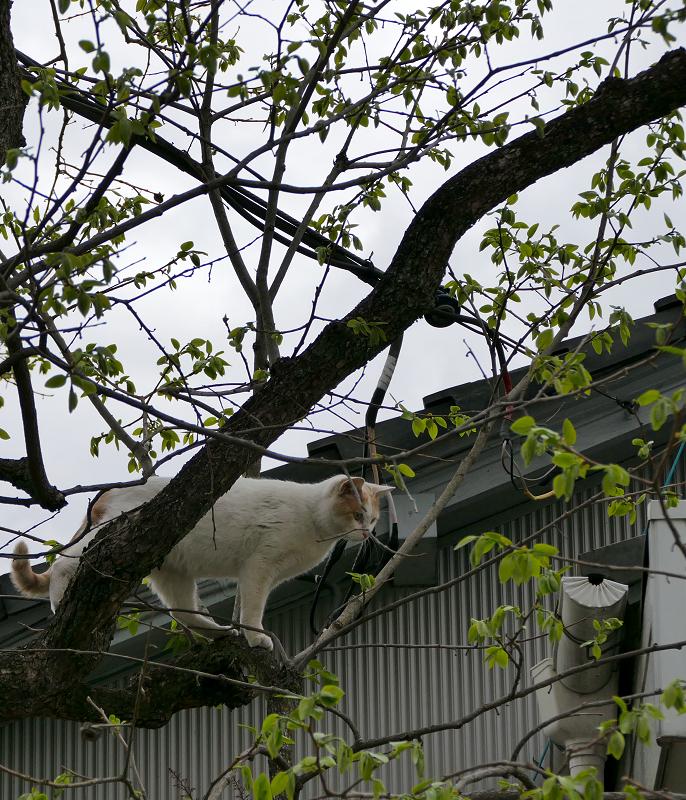 木の上の白茶猫3