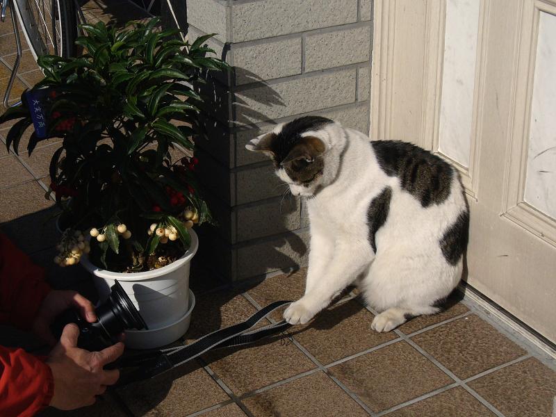 玄関でストラップ遊びの白キジ猫1