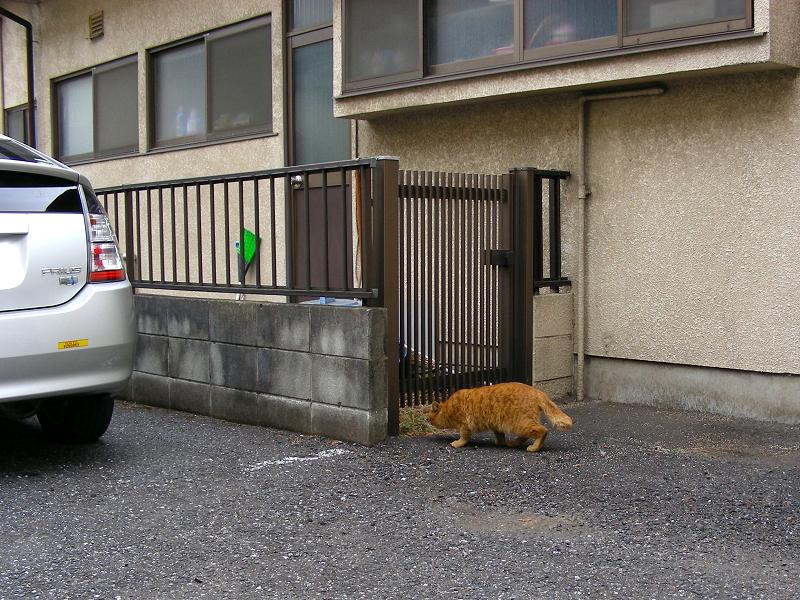 空き地から勝手口の移動する茶トラ猫2